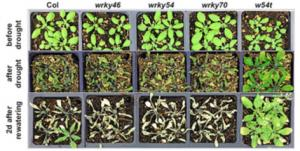 Photo of Arabidopsis plants.
